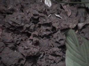 ゴリラのパンチングで壊れたシロアリ塚の破片。通常この中に数mmのシロアリが巣くっている © 西原智昭・撮影