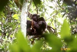 しとめたダイカーを首からぶら下げていたオスのチンパンジー © 西原智昭・撮影