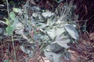 典型的なゴリラのベッド。クズウコン科の葉を折りたたんで快適なベッドを作る© 西原智昭・撮影