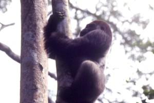 木の上のシルバーバック © 西原智昭・撮影