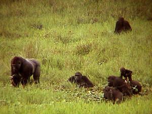 """湿地性草原""""バイ""""でのゴリラの家族;左側にいるのが家族の長シルバーバック;他はそのメスと子供たち © 西原智昭・撮影"""