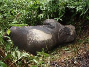 最新のマルミミゾウの死体。密猟されてから数日後。すでに象牙は抜かれている©西原智昭撮影