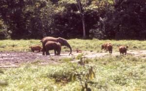 パトロール隊の努力によって日中の時間帯にモコレ・バイに集まるようになった野生動物(マルミミゾウほか、アカスイギュウ[右手]、ボンゴ[左手と中央]の姿が見られる)©西原智昭