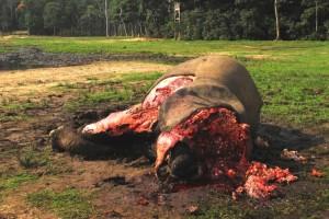 象牙目的で殺害されたマルミミゾウの死体。首がないのは、象牙を採取する作業の時に手間を省くためである©Andrea Turkalo
