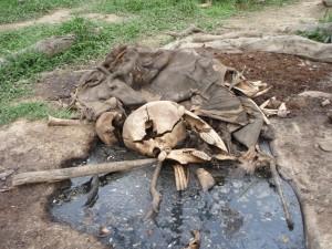 密猟されたマルミミゾウの古い死体の一例;すでに象牙は抜かれている © 西原智昭