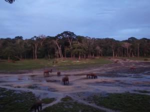 夕闇せまる中央アフリカ共和国ザンガ・バイでのマルミミゾウ © 西原智昭
