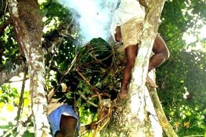 ハチミツを取るために、木に登り(上)、ハチをいぶし出すために煙をたく(下)先住民©西原智昭