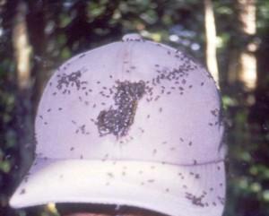 ハリナシバチにたかられた汗だくの帽子©西原智昭