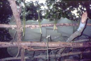 写真71(a): 森の中で屋根代わりに使うクズウコン科の葉