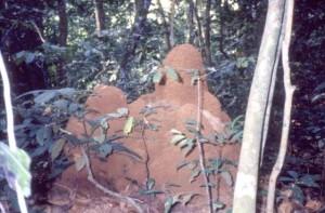 大型のキノコシロアリの巣©西原智昭