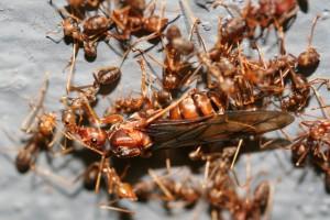 集団で女王アリを運ぶツムギアリの群れ©西原恵美子