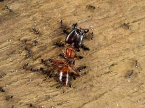 大型の赤いアリの死骸を食べるシリアゲアリの群れ©西原恵美子