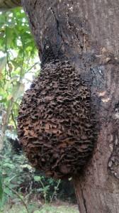 シリアゲアリの巣©西原恵美子