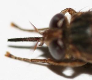 ツェツェバエの頭部拡大、皮膚を刺し血を吸うのが中央の太い針©西原恵美子
