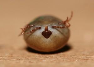 血を吸いすぎて身動きのできなくなったダニ(直径5ミリほど)©西原恵美子