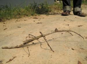 全長が30cmにも及ぶナナフシ©西原恵美子