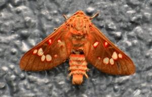 鮮やかな赤茶色の蛾©西原恵美子(上)