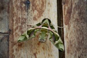 見事に迷彩色に擬態した蛾©西原恵美子(下)