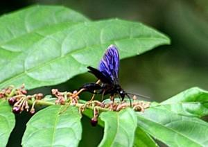 胴体部分が糸のように細い鮮やかな紺色のハチ ©西原恵美子