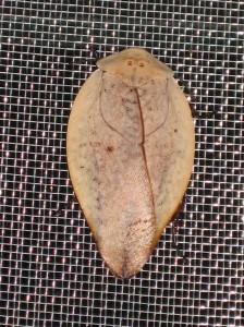 羽の部分が葉に擬態されたゴキブリの仲間©西原恵美子