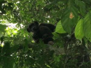 樹上から地上を見つめるチンパンジーcAbea Gaston