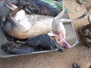 狩猟で食用に獲られたダイカー©永石文明