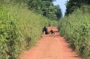 古く狭くなった木材搬出路に現れたゴリラ©WCS Congo