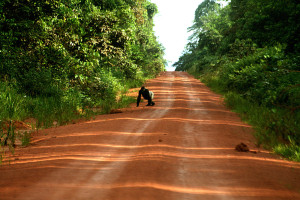 伐採道路によって分断された森を渡る野生ゴリラ©西原恵美子