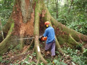 アフリカ熱帯林での伐採現場©西原智昭