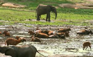 マルミミゾウ、アカスイギュウ、ボンゴなどバイに複数の動物種が集まる©西原恵美子
