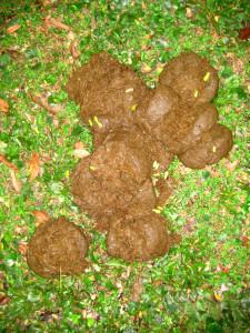 マルミミゾウの糞©西原恵美子
