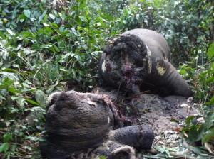 象牙を取るために頭部と胴体部を切断されたマルミミゾウの密猟死体©WCS Congo