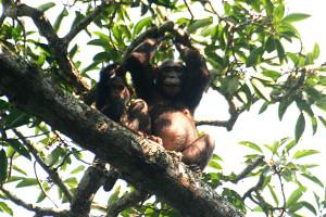 写真228:ボトと現地語で呼ばれる果実を食べるチンパンジー©西原恵美子