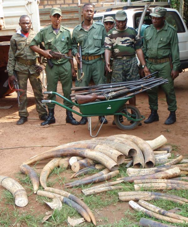 写真233:コンゴ共和国北東部伐採区内のパトロール隊と密猟者から押収した象牙と銃©西原智昭