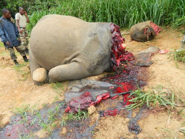 写真230:コンゴ共和国で密猟されたマルミミゾウ。象牙を抜くために頭から先が切り取られている©WCS Congo