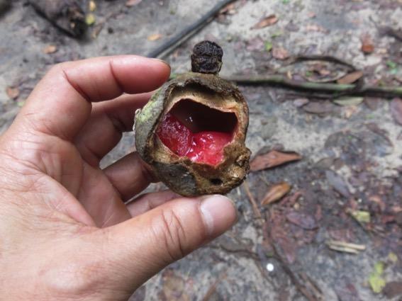 写真239:マロンボの実の一種。中の赤い果肉がいくつか入っておりその中に種子が一つずつある©西原智昭