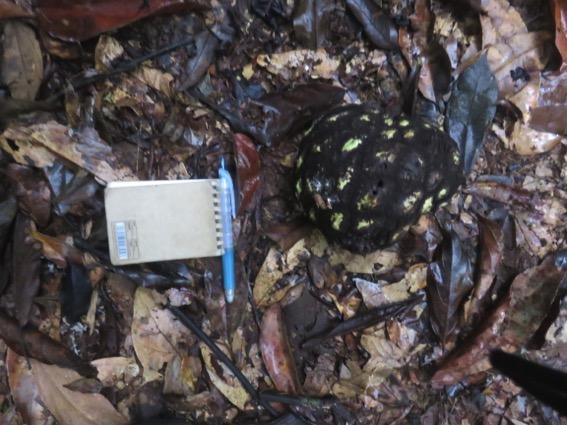 写真240:モベイの実。これはまだ固く熟していない©西原智昭