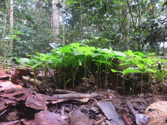 写真242:ゾウの糞の中の種子からの芽生え。ほとんどがマロンボ©西原智昭