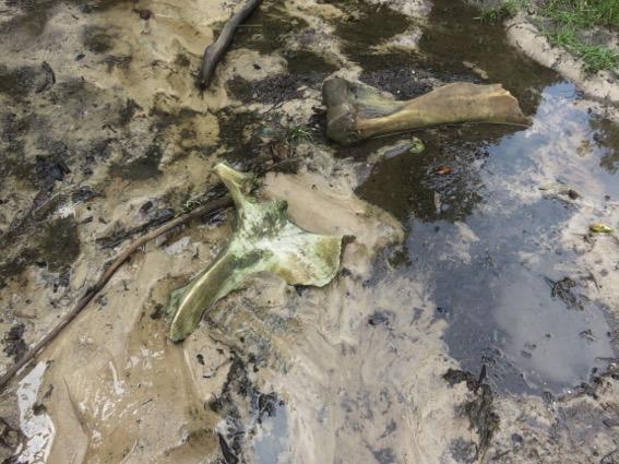 写真245:もう一頭殺害されたマルミミゾウの腰と足の骨の一部。マバレ・バイの脇で見つかった©西原智昭