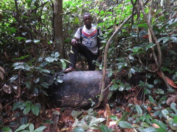 写真247:ゾウ道でときには股がなければならない直径が50cmほどもある倒木©西原智昭
