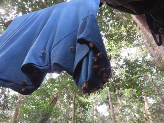 写真249:汗のかいた筆者のTシャツに群がるアフリカミツバチ©西原智昭