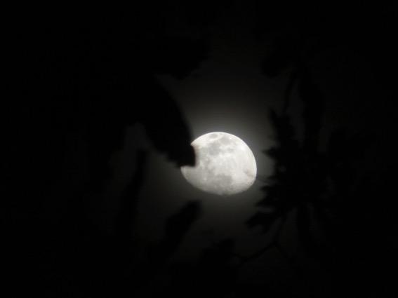 写真252:樹冠の向こうに見える月©西原智昭