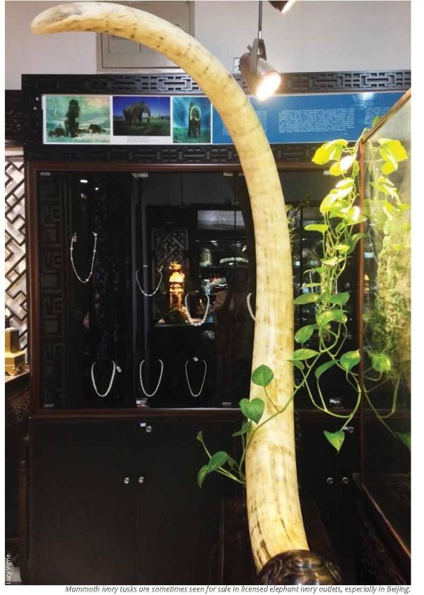 写真257:中国で売られているマンモスの象牙(文献2より引用)