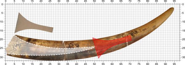 図1:象牙と三味線の撥©西原恵美子[実際にコンゴ共和国北東部で押収された1本15㎏のマルミミゾウの象牙と、撥(赤色)を重ねて大きさ比較をしている。象牙の体内に挟まっている部分(図の左側半分の白い部分)には筒状の穴があいているため、手で握る柄の部分の厚さと、先端の広がった部分の幅を確保するには、右側の、象牙の髄質が詰まっている部分しか使えない。図の通り、15㎏の象牙からは撥一丁すら作成し得ないことがわかり、恐らく撥の製作には最低でも20㎏相当の象牙が必要であると考えられる]。